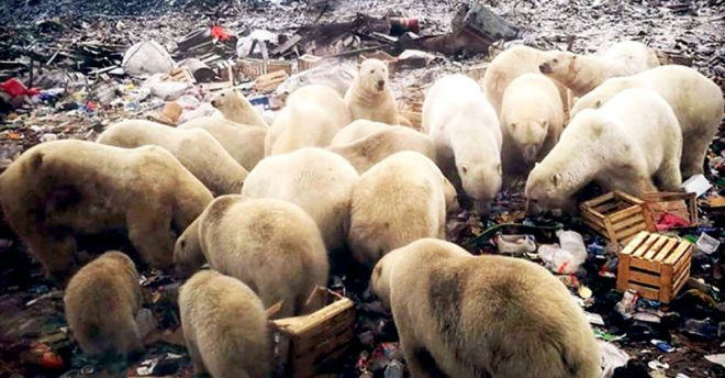 mass-invasion-of-polar-bear