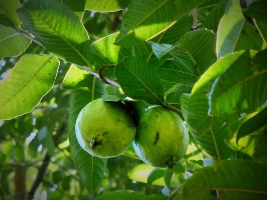 the-guava-tree-with-young