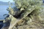 Greek spiders revolving monstrous webs, enjoying smorgasbord of bugs brought on by summer heat