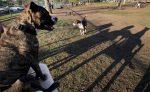 പിറ്റ്ബുളിന്റെ ആക്രമണത്തില് യുവതി കൊല്ലപ്പെട്ടു; പോലീസ് നായ്ക്കളെ വെടിവെച്ചുകൊന്നു